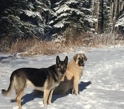 IH - dogs