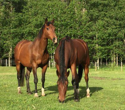 IH - paddock horses